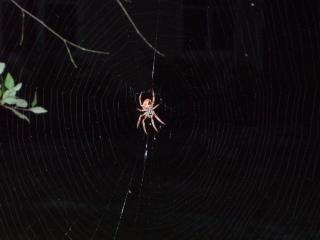 Huge_spider_july_2007_002
