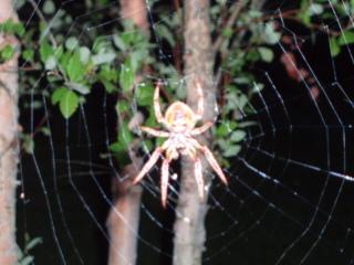 Huge_spider_july_2007_004_2