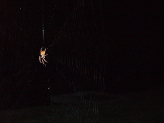 Huge_spider_july_2007_005